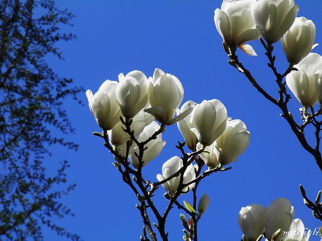 White Magnolia 1