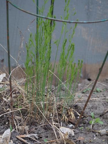 asparagus survived again!