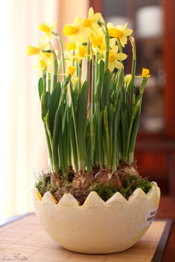 yellow narcissus plant flowers easter egg pot in bloom