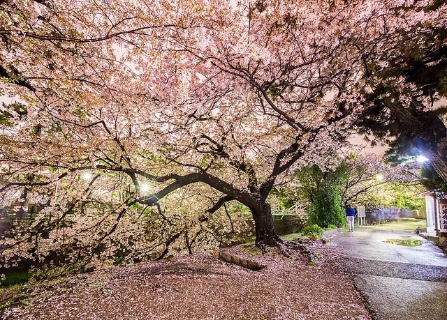Sakura Tree along Shukugawa River