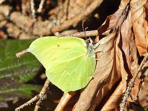 P1180779- Le Citron (Gonepteryx rhamni) - Rando Valromey  08 avril 2015
