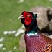 Male Pheasant by Mukumbura