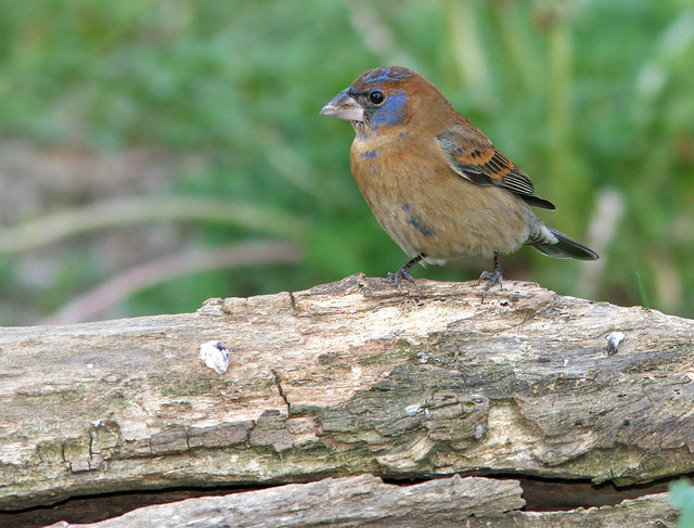 Blue Grosbeak 20d _5687