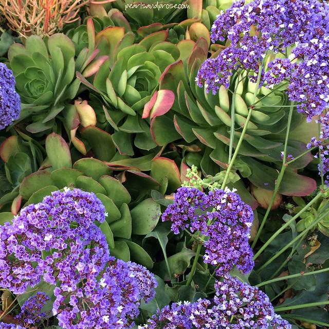 sea_lavender_succ_web