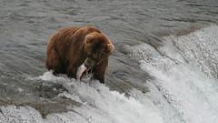 Kolejny łosoś wpadł prosto do pyska niedźwiedzia