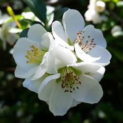 flower, plant, wildflower, flora, rosa multiflora, petal,