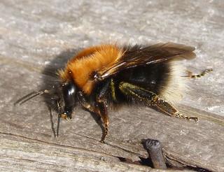 Tree Bee . Bombus hypnorum