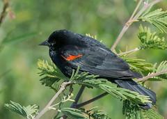 Red-winged (Bicolored) Blackbird (Agelaius phoeniceus)