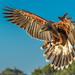 Sweet Shanti - Harris' Hawk (Parabuteo unicinctus) - Sky Falconry by Jim Frazee