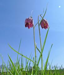 Chequered Fritillaries (Fritillaria meleagris)
