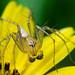 Lynx Spider on Yellow Flower
