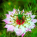 Small photo of Nigella Damascena, Also Known as Love in a Mist