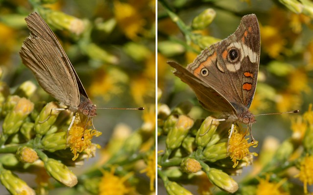 Common Buckeye (Junonia coenia) butterfly on Scale Broom - wings open and closed