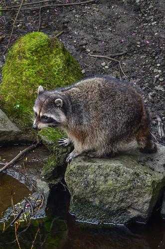 <p><i>Procyon lotor</i>, Procyonidae<br /> Stanley Park, Vancouver, British Columbia, Canada<br /> Nikon D5100, 70-300 mm f/4.5-5.6<br /> April 4, 2015</p>