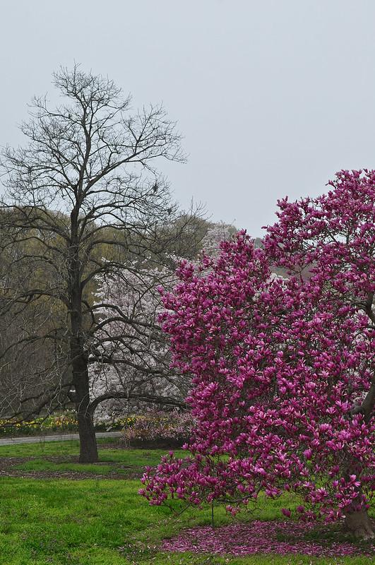 Magnolia x 'Betty' (2)