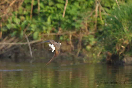Green Sandpiper on my patch