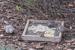 Birdwatching - Mourning Dove, House Sparrow, and White-Crowned Sparrows