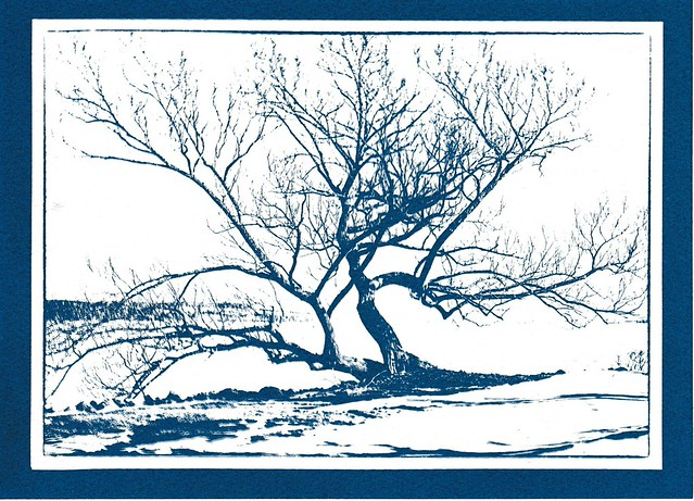 Willow in Lakewood - Cyanotype