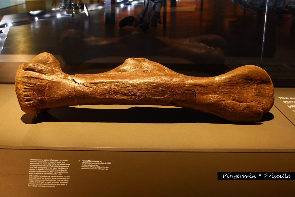 Femur bone of an Edmontosaurus