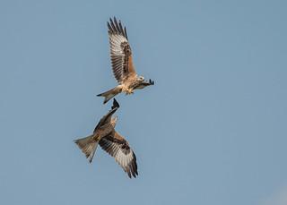 Red Kite squabble