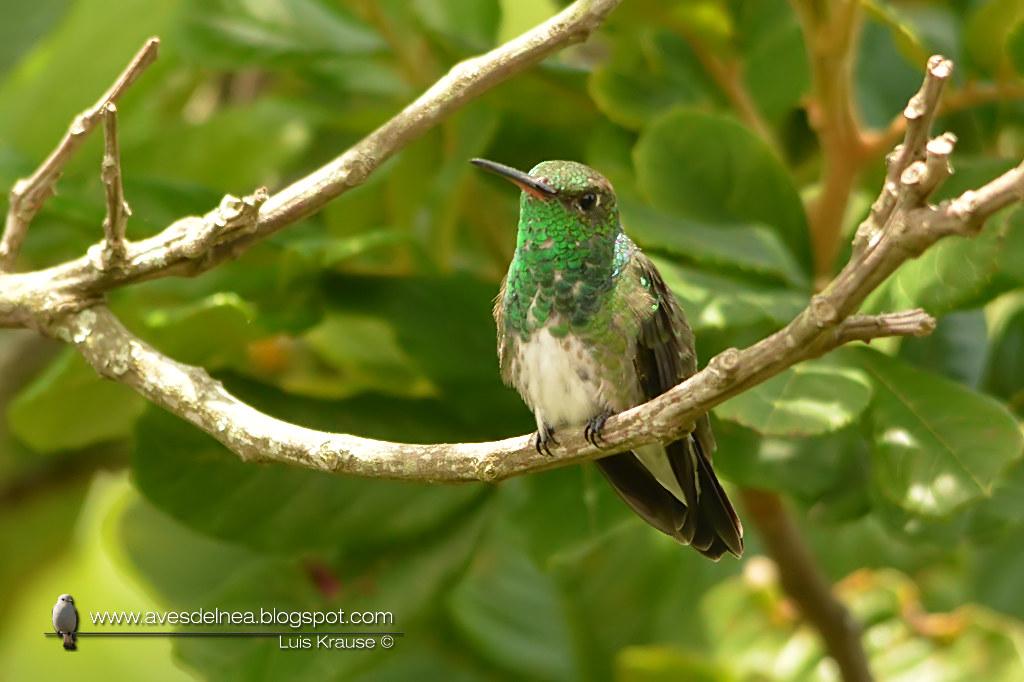 Picaflor de garganta verde (Glittering-throated Emerald) Amazilia fimbriata