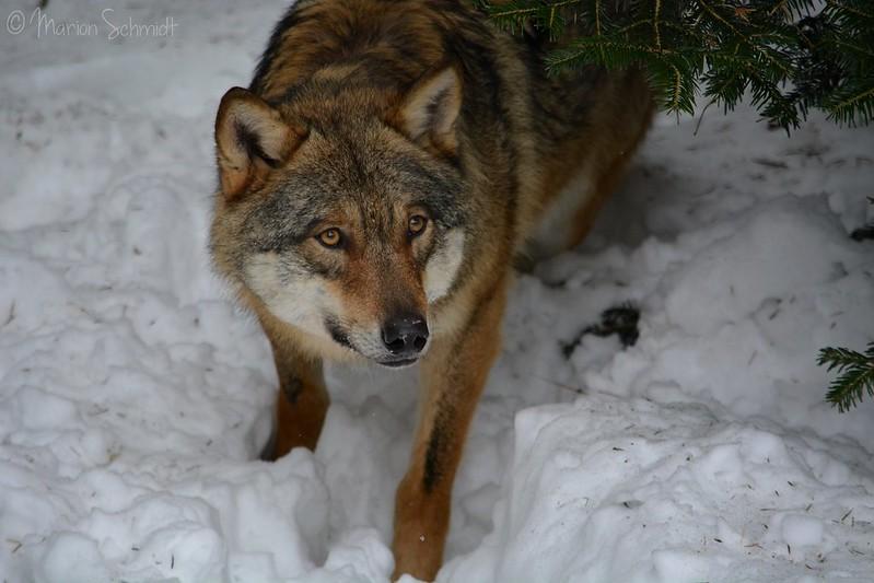Wolf or Fox ?