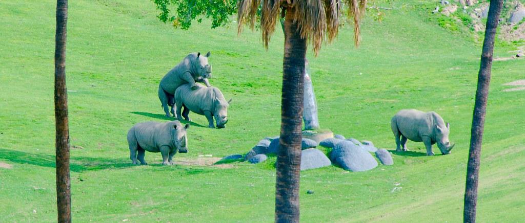 Southern White Rhinoceros (Ceratotherium simum simum)_2
