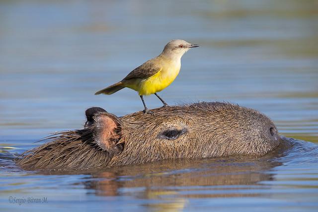 Picabuey sobre Capibara. Cattle Tyrant over Capybara. (Machetornis rixosus, Hydrochaeris hydrochaeris).
