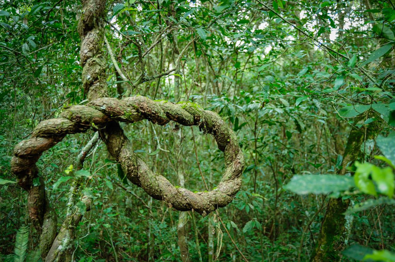 """Una liana (trepadora) del tipo """"leñosa"""" se parece a una cuerda a simple vista. En los bosques de la Reserva del Mbaracayú las plantas que germinan en el suelo necesitan de un soporte para elevarse y conseguir luz para sobrevivir debido a los abundantes árboles que compiten en altura.  (Elton Núñez)"""