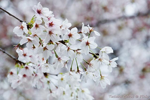 Somei Yoshino flowers close-up
