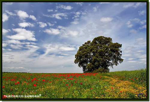 blue red sky españa cloud paisajes naturaleza white color colour verde green primavera blanco nature colors weather yellow azul clouds canon landscape arbol eos landscapes spring spain rojo árboles colours arboles natura paisaje colores amarillo cielo nubes poppy poppies árbol campo llanos nube cuenca lamancha llano poppie mancha castillalamancha encina amapolas amapola llanura manchuela casasimarro eos7d antoniozamora manchuelaconquense