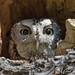 Peekaboo! (Eastern Screech Owl) EXPLORED by Mitch Vanbeekum Photography