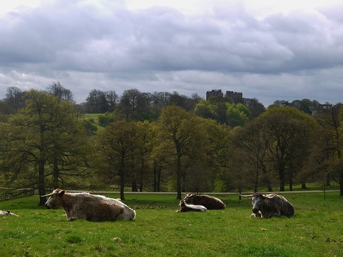 Cows before Hardwick Hall