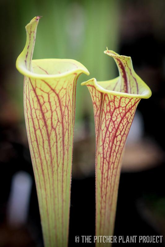 Sarracenia flava var. ornata - lidless