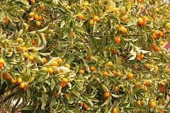 cayenne pepper(0.0), chili pepper(0.0), shrub(0.0), vegetable(0.0), flower(0.0), peppers(0.0), plant(0.0), bell peppers and chili peppers(0.0), hippophae(0.0), bird's eye chili(0.0), produce(0.0), food(0.0), bitter orange(0.0), evergreen(1.0), citrus(1.0), kumquat(1.0), fruit(1.0),