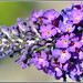 Small photo of Black Knight Buddleia
