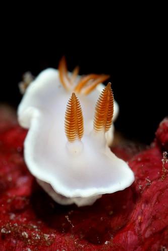 Noumea angustolutea 狹黃多彩海蛞蝓