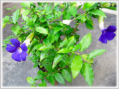 Purchased a potted Thunbergia erecta (King's Mantle, Bush Clock Vine), February 21 2014