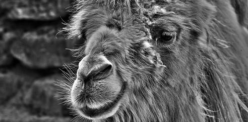 I'm a camel...