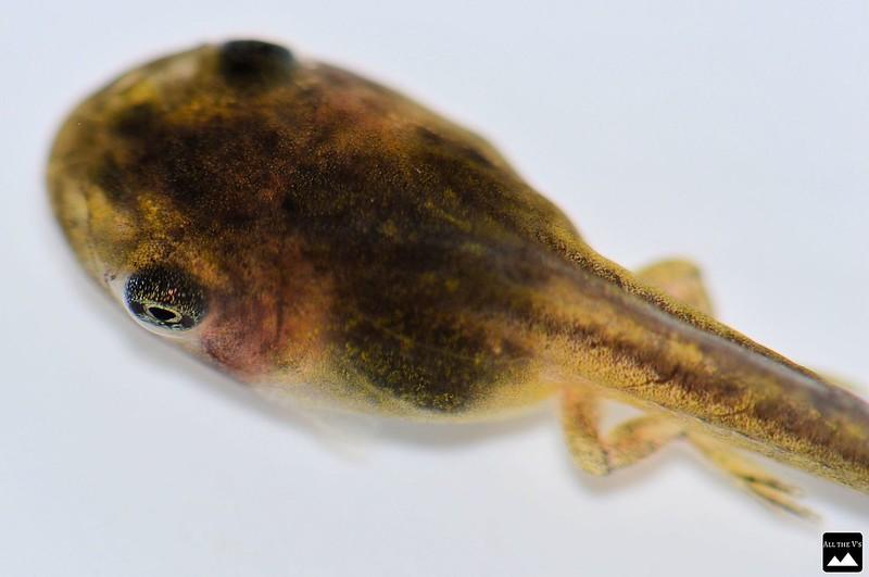 tadpole close up