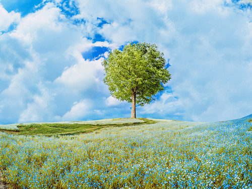 blue sky plant flower tree nature japan landscape scenery air hill meadow jp 日本 花 木 自然 plain 空 風景 植物 平原 kimura 景色 nemophila 草原 takuma 琢磨 青空 a01 丘 木村 香川県 ネモフィラ 仲多度郡 photones