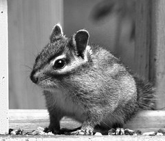Chipmunk Portrait Black and White
