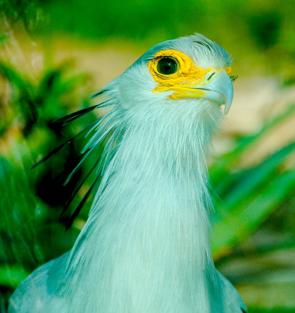 Secretary Bird (Sagittarius serpentarius)_1