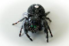 european garden spider(0.0), arthropod(1.0), animal(1.0), spider(1.0), araneus(1.0), invertebrate(1.0), insect(1.0), macro photography(1.0), fauna(1.0), close-up(1.0), tarantula(1.0), wolf spider(1.0),