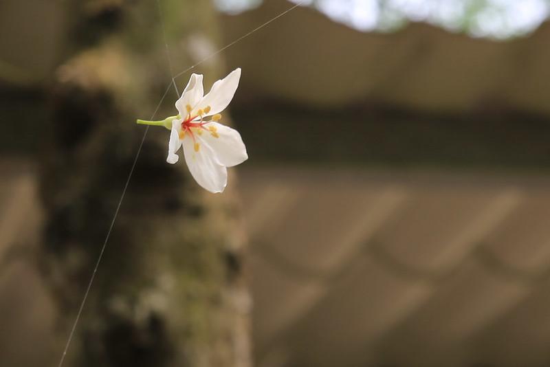 要拍攝漫天花雨的五月雪不易,這一朵卡在蛛網中的桐花,正好靜靜地停在半空中讓我補捉。