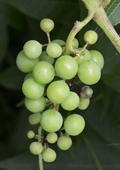 grapes muscadine seeded seed