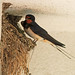 Barn Swallow at nest (R. Davidson)
