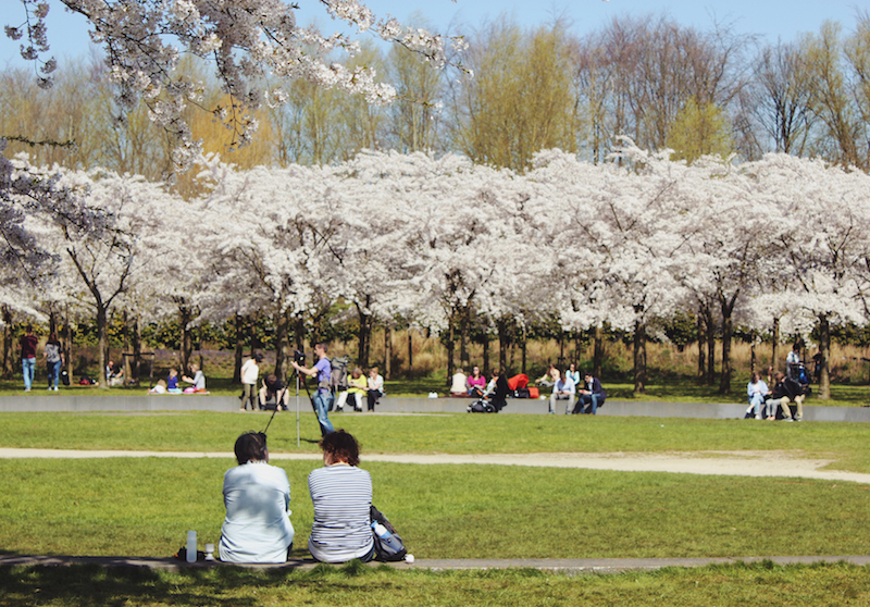 Cherry blossoms in Amsterdamse Bos wide view