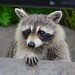 Small photo of Urban racoon