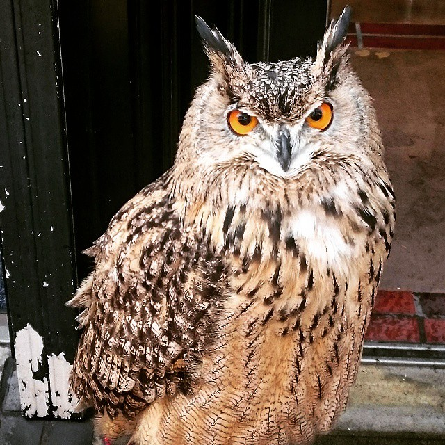 近所のミミズクちゃん。昨日久しぶりに見かけた。#フクロウ #ミミズク #鳥 #bird #owl #hornedowl